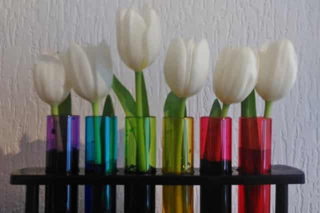 Experiment; witte tulpen kleuren met kleurstof - Mamaliefde