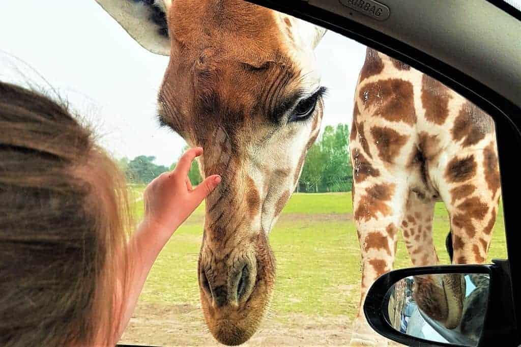 Een dagje uit naar Safaripark Beekse Bergen met kinderen? Van wandelsafari, tot autosafari en bussafari. Inclusief tips voor bezoek met korting aan dit dierenpark. - Mamaliefde.nl
