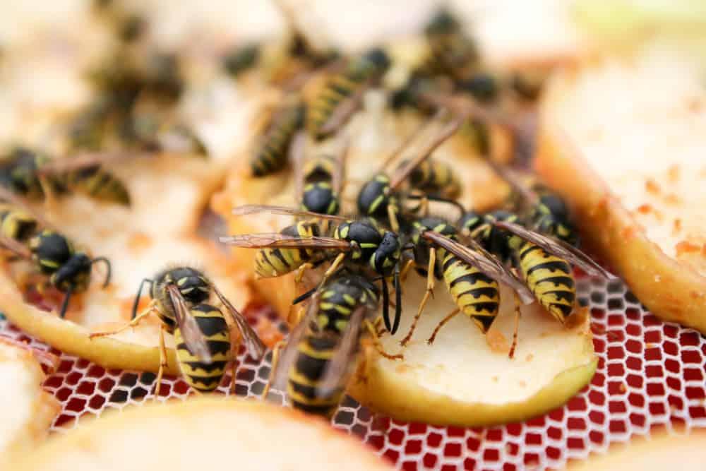 Wespen verjagen; tips om ze te bestrijden met water of planten zoals eucalyptus of wespenval - Mamaliefde.nl