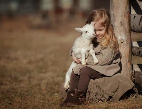 Lammetjesdagen 2020; overzicht per provincie om lammetjes te aaien en knuffelen