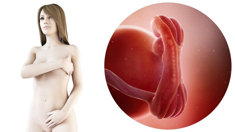 5 Weken Zwanger Zwangerschapskalender Mamaliefdenl