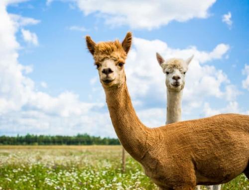 Leukste items met alpaca's