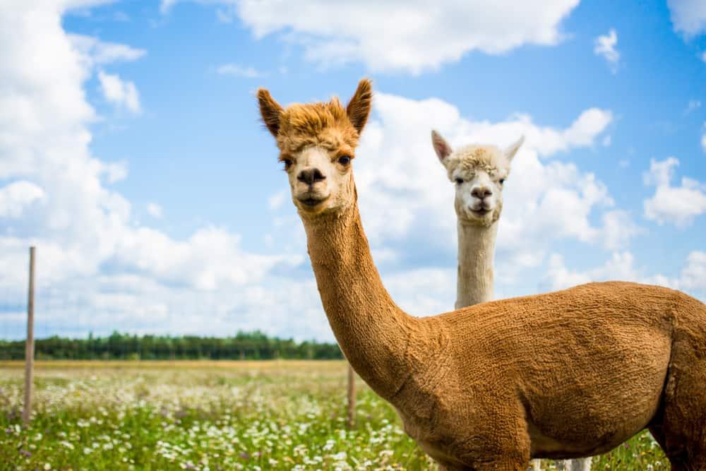 Leukste spullen met alpaca's - Mamaliefde.nl