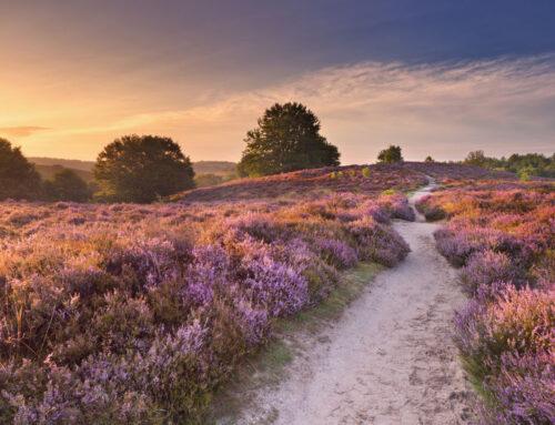 Heidevelden in Nederland; voor de mooiste wandelingen en foto's