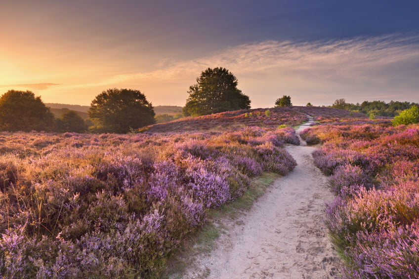 Heide velden Nederland; voor de mooiste wandelingen en foto's - Mamaliefde.nl