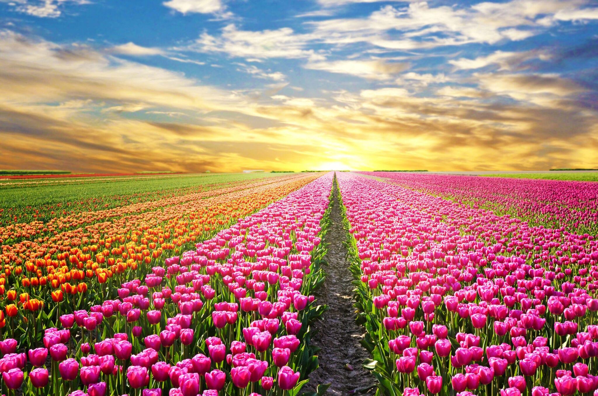 Tulpenvelden bezoeken en bloembollen uitjes Nederland met kinderen - Mamaliefde.nl